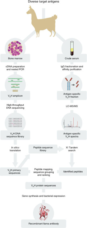 """Overview of nanobody identification and production pipeline. From """"A robust pipeline for rapid production of versatile nanobody repertoires"""" Nat Methods. 2014 Dec;11(12):1253-60"""